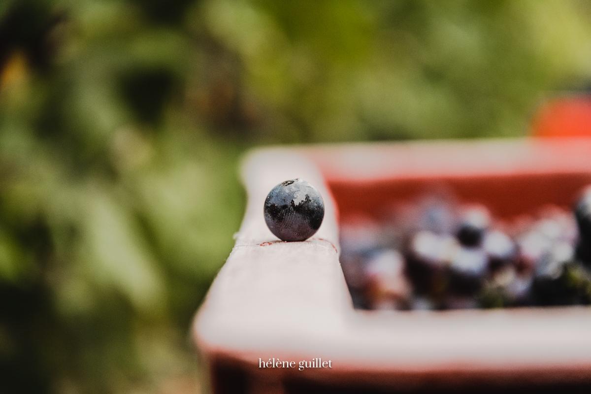 Grain de raisin sur une caisse à vendange en Champagne © Hélène Guillet