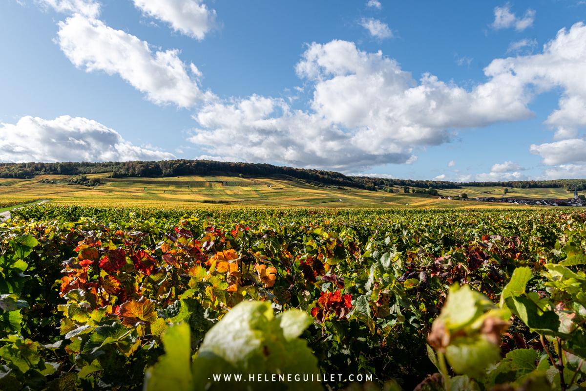 Paysage automnal de vignes en Champagne. © Hélène Guillet