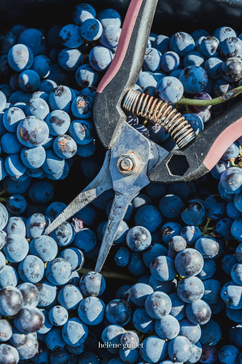 Seau raisins sécateur Champagne Louis Brochet