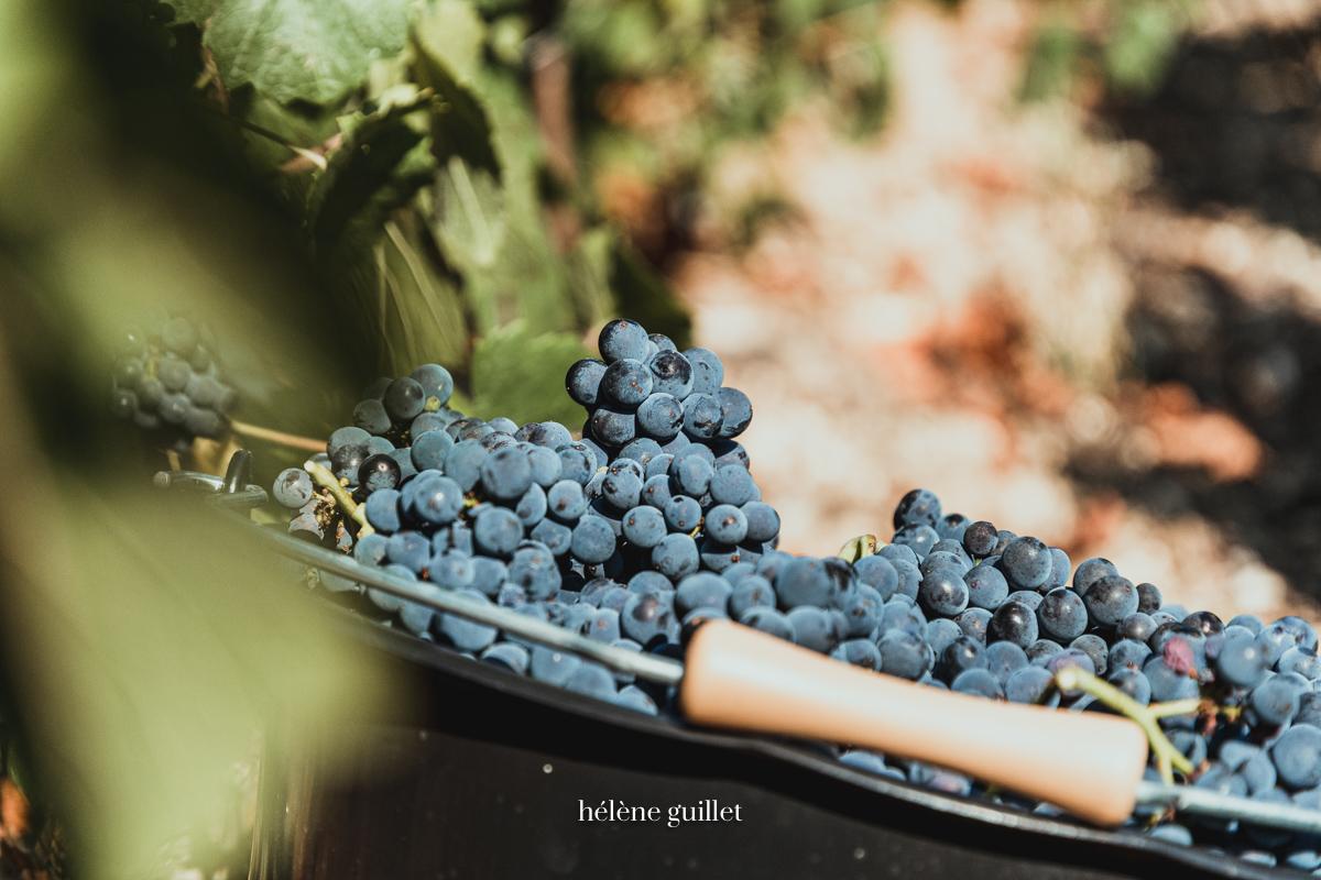 Seau raisins Pinot noirs Champagne Louis Brochet